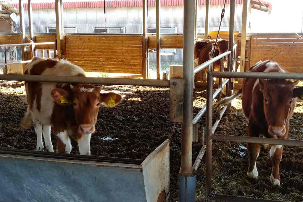ガンジー牧場 牛舎