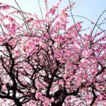 2月梅の木