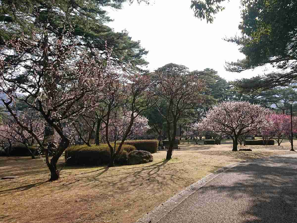 別府公園・梅の木1