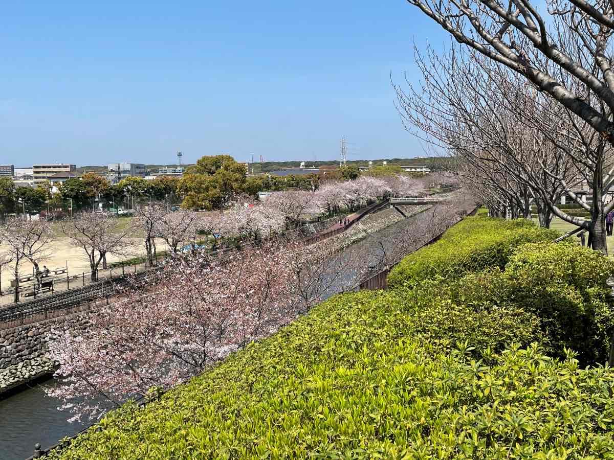 平和市民公園 桜