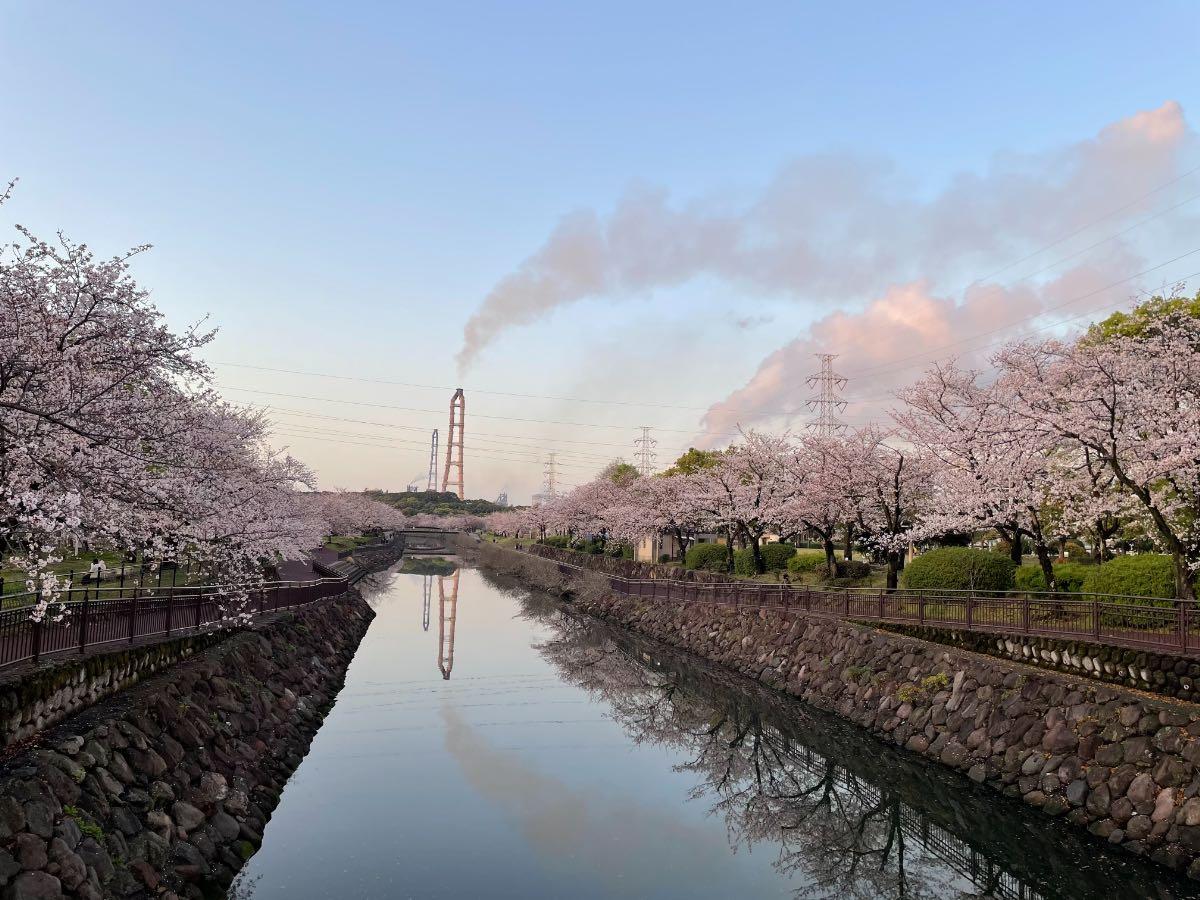 平和市民公園の桜
