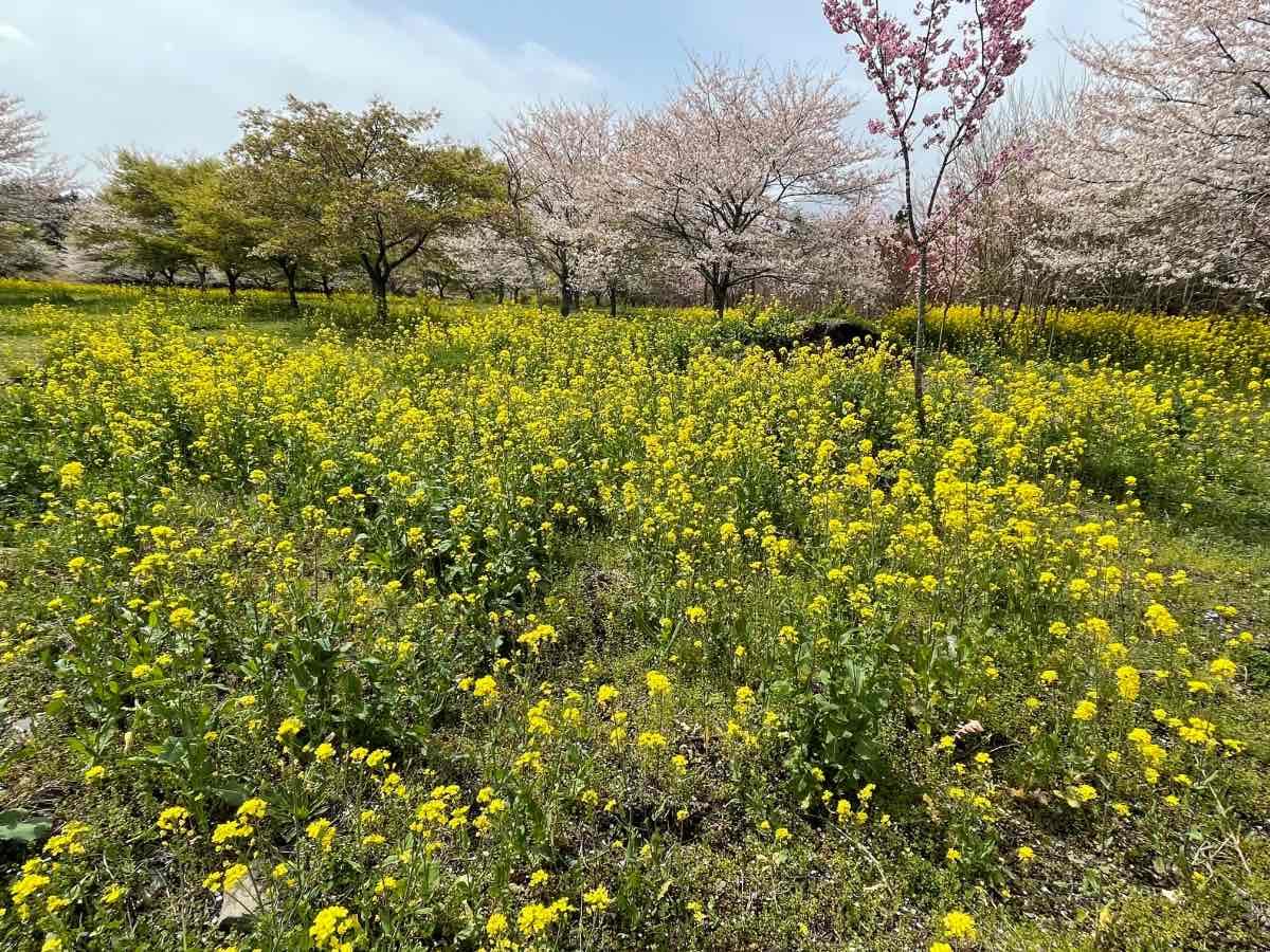 長湯温泉しだれ桜の里 菜の花