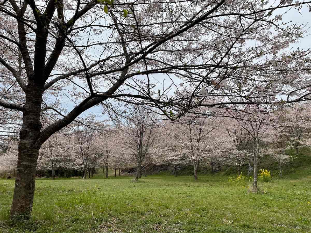 長湯温泉しだれ桜の里 桜内部