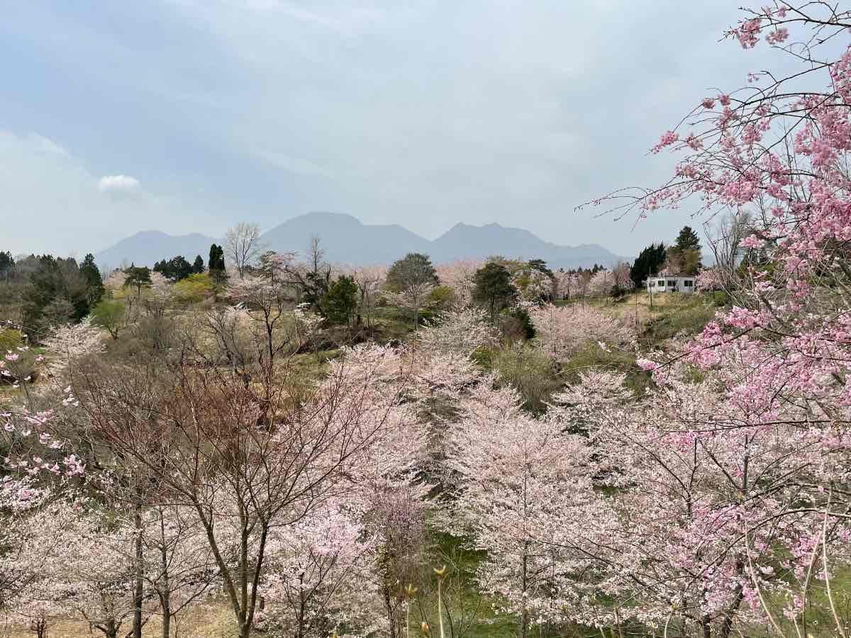長湯温泉しだれ桜の里 くじゅう連山