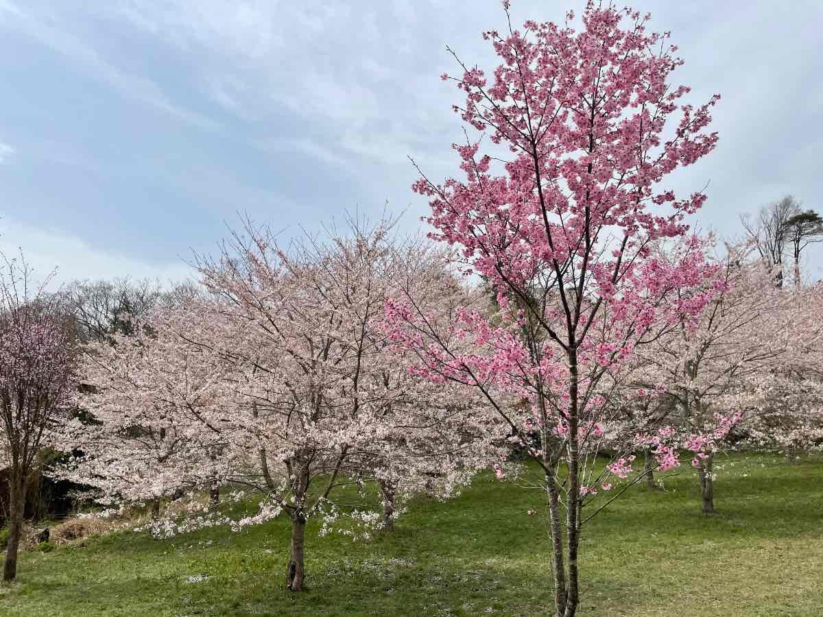 長湯温泉しだれ桜の里 ピンクの桜