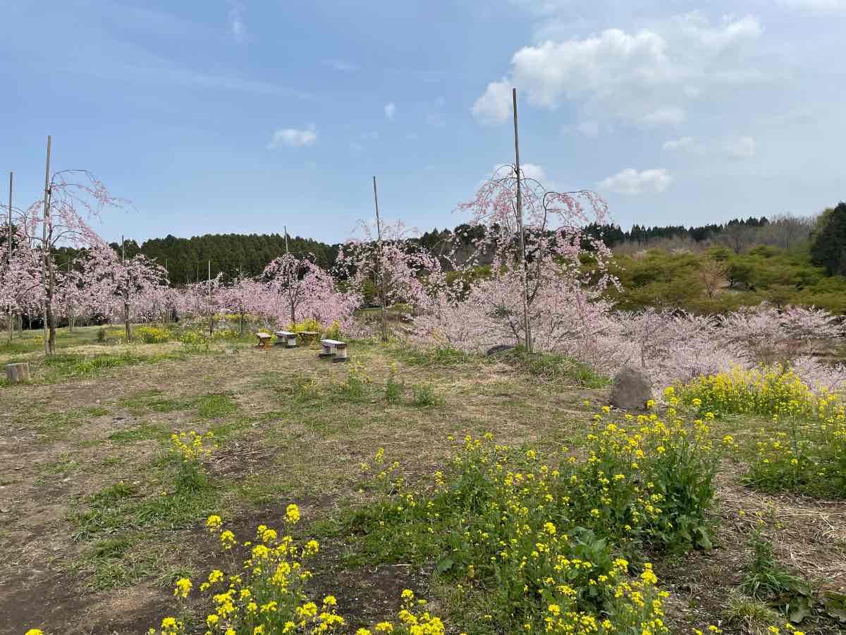 長湯温泉しだれ桜の里 しだれ桜
