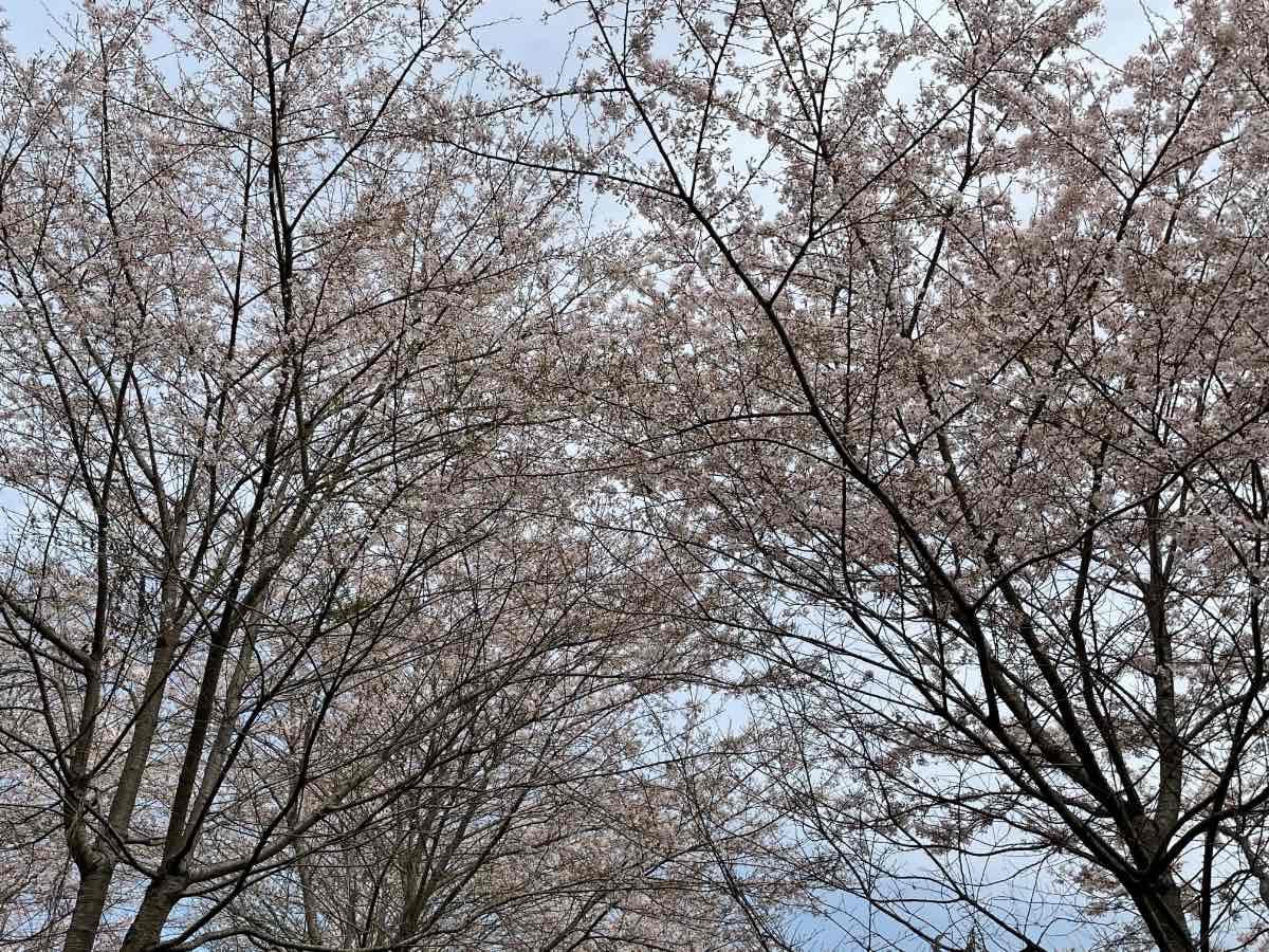 長湯温泉しだれ桜の里 桜の空