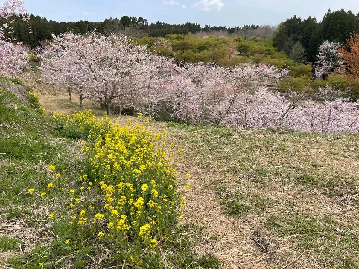 長湯温泉しだれ桜の里 桜景色