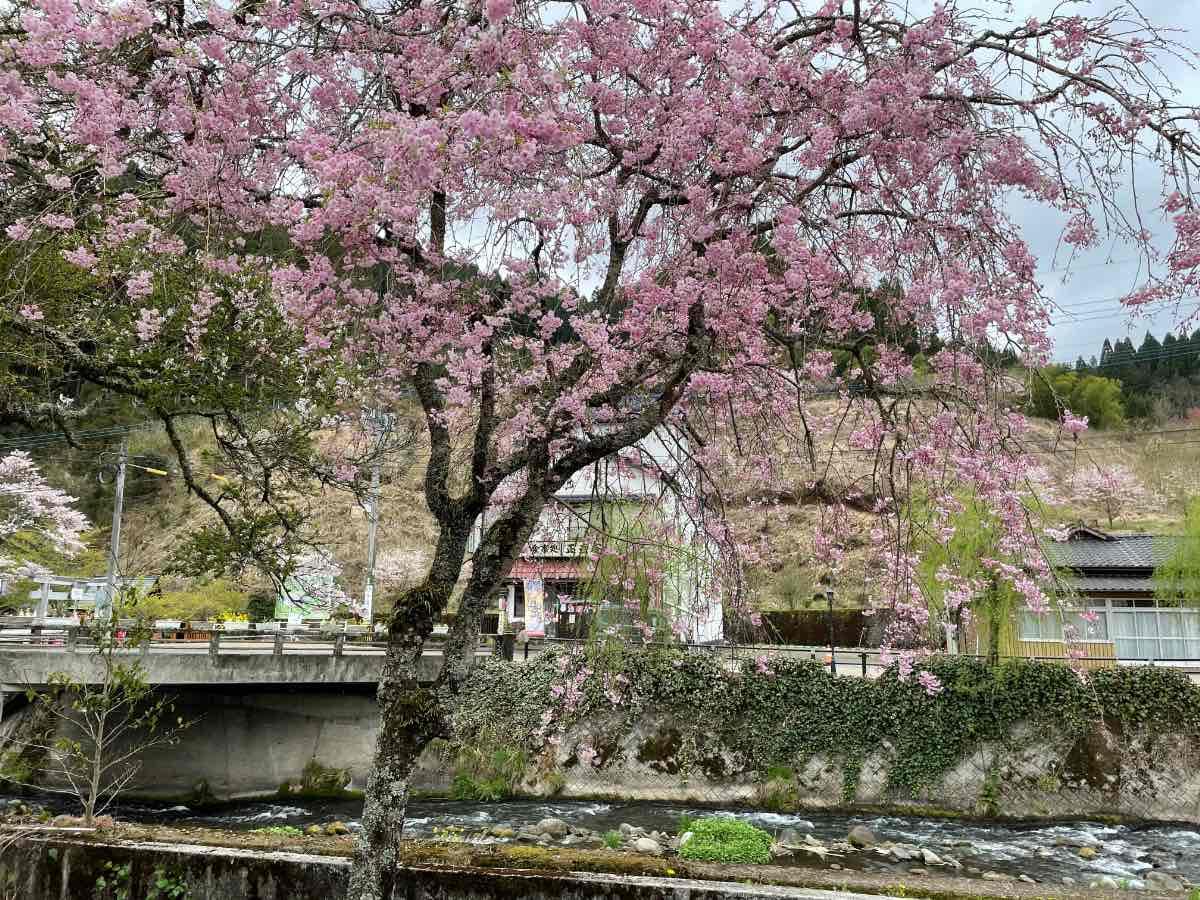 長生湯 裏の桜