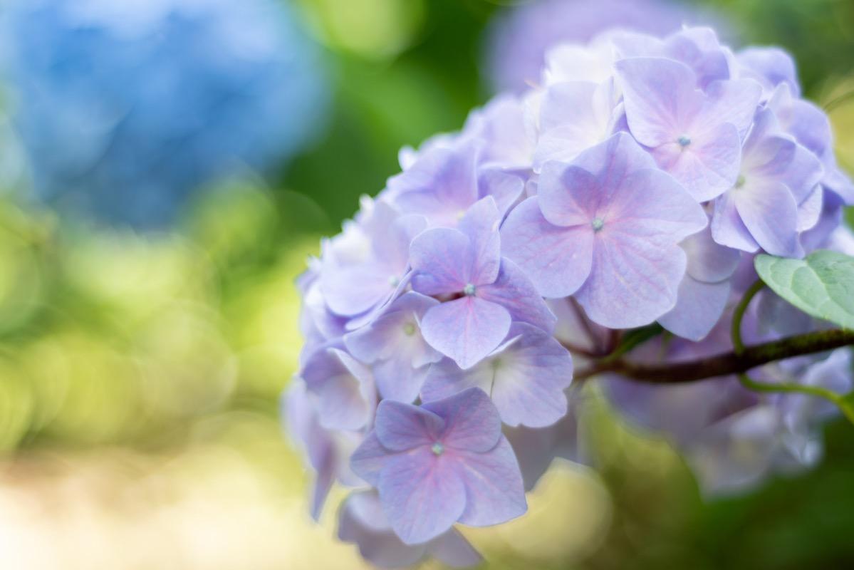 2021年6月紫陽花